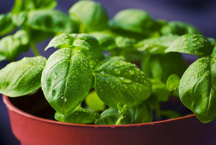 Cutivar plantas aromáticas en mi huerto urbano